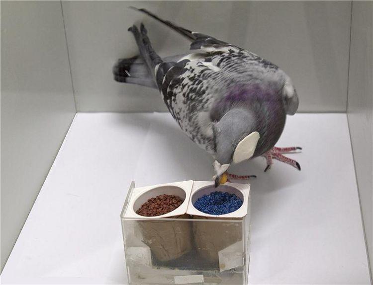 pigeons inteligence